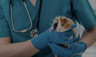 Veterinary gently holding a hamster